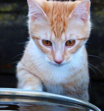 chat qui ne boit pas