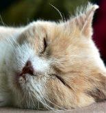 déshydratation chat